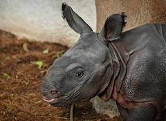 Rhinoceros calf (Daantje1704) Tags: rhino rhinoceros indian neushoorn pantserneushoorn calf young baby rotterdam blijdorp zoo cute