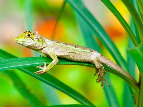 Swinhoe's Lizard 黃口攀蜥