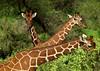 Giraffes - Kenya (Eric Lafforgue) Tags: africa kenya culture tribal tribes afrika tradition tribe ethnic tribo afrique ethnology tribu eastafrica 1443 quénia lafforgue ethnie ケニア quênia كينيا 케냐 кения keňa 肯尼亚 κένυα кенија кенијa