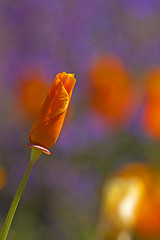 Purple & Poppies (mclcbooks) Tags: flowers flower macro closeup bokeh poppy californiapoppies denverbotanicgardens