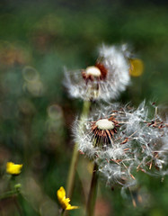 Release (Anne Worner) Tags: blur lensbaby flying bokeh dandelion wefi sseds spectralhightlights sweet35 anneworner
