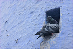 niche, jodhpur (nevil zaveri (thank you for 10 million+ views :)) Tags: blue india colour colors birds animals wall architecture photography photo blog photographer exterior pigeon niche stock images mosque zaveri rajasthan gettyimages stockimages jodhpur nevil nevilzaveri