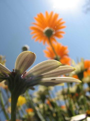 .... (Mujahid's Photography) Tags: sky orange sun white flower beautiful daisy bec breathtaking naturesfinest natuer blueribbonwinner mywinners aplusphoto superbmasterpiece