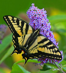 Butterfly's Favorite Bush (janruss) Tags: butterfly photo amazing bravo group defenders butterflybush the naturesfinest naturescall supershot magicdonkey 50faves topshots impressionsexpressions specnature 35faves goldenmix animalkingdomelite naturesgallery platinumphoto colorphotoaward aplusphoto wildlifeoftheworld specinsect superbmasterpiece top20butterflies diamondclassphotographer flickrdiamond megashot photosandcalendar ysplix flickrelite naturewatcher colourartaward buzznbugz excapture themacrogroup macromarvels macromix theperfectphotographer thegoldendreams excapturemacro ostrellina beautifulbugs excellentsflowers treeofhonor natureselegantshots ahqmacro goldenheartaward 100commentgroup colorphotoawardbronze colorphotoawardsilver colorphotoawardgold panoramafotogrfico thebestofmimamorsgroups janruss janinerussell newgoldenseal theoriginalgoldseal mygearandmepremium mygearandmebronze mygearandmesilver mygearandmegold blinksuperstars