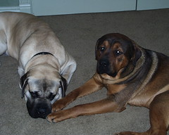 Napoleon & Excalibur Playing (muslovedogs) Tags: playing dogs mastiff napoleon excalibur mastweiler