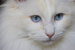 ***Blue eyes*** (Chrissie64) Tags: portrait pet macro cute beautiful face animal closeup cat mammal eyes furry kitten feline soft flickr mask sweet gorgeous blueeyes kitty fluffy stunning stare features stunner fabulous floyd puss myfavourites colouring ragdoll pinknose pedigree creampoint kissablekat bestofcats aplusphoto kittycrown top20white boc1107