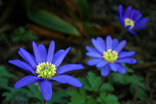 Blue Cosmos? | Flickr - Photo Sharing!