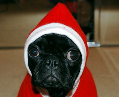 Thatcher Claus (C.K. Sample III) Tags: dog cute dogs puppy pug santaclaus pugs thatcher puppydog dogtorture thatsclassy rotrossorougerood