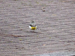 Grey Wagtail by Albion Channel