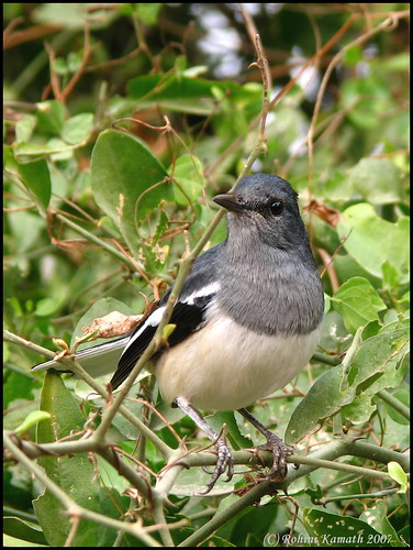 Magpie Robin (F)