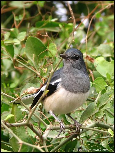Magpie Robin (F)