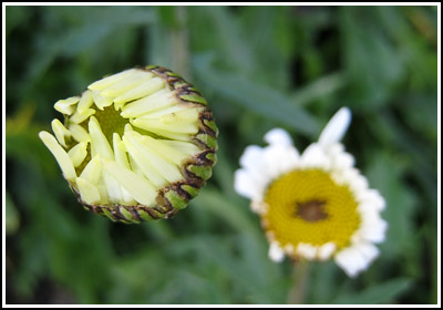 Ox Eye daisy 2 copy