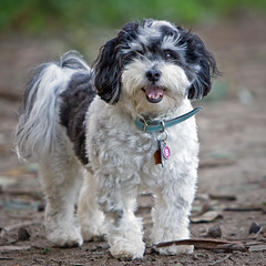 Baba (the other Martin Taylor) Tags: dog babalu havanese pad2008jan