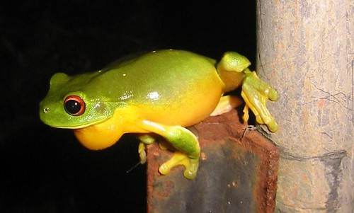 Red-eyed tree frog (Litoria chloris)