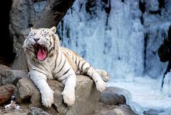 White tiger (floridapfe) Tags: winter white ice zoo nikon tiger korea southkorea whitetiger everland d80 golddragon mywinners abigfave anawesomeshot 100commentgroup vosplusbellesphotos