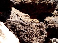 lagarto canario (foto piedra) Tags: lagarto canario