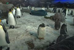 King and Gentoo Penguins@Kelly Tarlton's