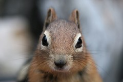 Nuts (Sionth) Tags: animal squirrel whiskers chipmunk chip tianna sionth flickrchallengegroup flickrchallengewinner