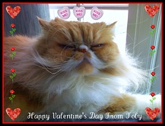 Toby Love (iwork4toby) Tags: red cat persian persiancat redpersian goldstaraward luv2explore