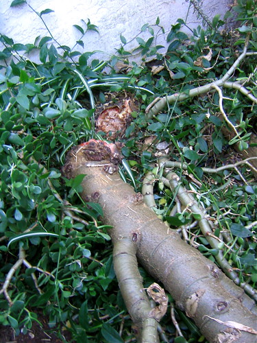 Broken Jade Plant