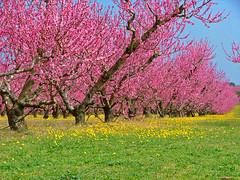 Almendros en flor 3 (Roberto AI) Tags: pink espaa tree primavera arbol spring spain rosa catalonia catalunya catalua almondblossom almendro almondtree altempord 5photosaday almendroenflor torroelladefluvi laltempord flickrloversflickrisevenler