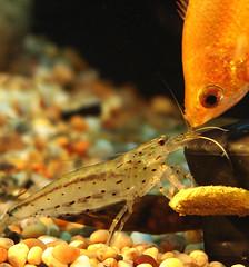 fish shrimp amanoshrimp caridinajaponica honeygourami algaeeatingshrimp freshwatershrimp caridinamultidentata caridinajaponicashrimp