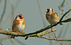 Goldfinches (Carduelis carduelis) (nutmeg66) Tags: bird nature birds fauna march spring lincolnshire 2008 naturereserves forestrycommission specanimal 400d chambersfarmwood