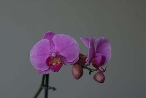 Orchid Phalaenopsis - IMGP0524