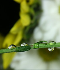 daisy drops spring 08 (jodi_tripp) Tags: water yellow daisies drops stem sunflower refractions firstquality joditripp challengeyouwinner wwwjoditrippcom photographybyjodtripp