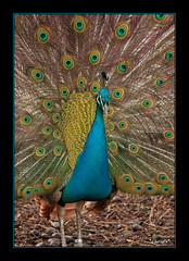 "Still proud (*Chris"")) Tags: bird colors amsterdam zoo artis vogel pauw peakock onlyyourbestshots"