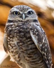 Burrowing Owl - A Tribute to My Dad