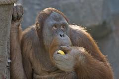 Stop watching me... (Dieter Müßler) Tags: explore orangutan ape apes animalplanet primates endangeredspecies menschenaffe hominidae ar1 canonef100400mmf4556l jalalspagesanimalkingdom hagenbeckstierparkhamburg youngmaleorang youngmaleorangutan