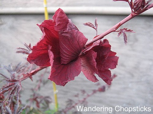 Jungle Red Hibiscus 1