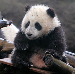 A wet Baby Zhen Zhen (kjdrill) Tags: china california bear usa baby animal giant zoo cub panda searchthebest sandiego bears fv10 soe pandas endangeredspecies 100faves zhenzhen avisittothezoo diamondclassphotographer diamondclassphotographe fcawinner goldwildlife 5488a
