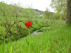 gerzensee (Tombear60) Tags: red green see dorf tulipa frhling salix gerzensee
