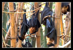 Indian flying fox (Pteropus giganteus) (Umang Dutt) Tags: india texture leather mammal flying interestingness interesting flickr image bat picture wave bamboo explore fox superhero indians sonar inverted flyingfox animalplanet radar fwd gujarat ahmedabad deadly cloaked dutt handing umang ultrasonic umangdutt httpumangduttblogspotcom earthanditsincredibleanimals