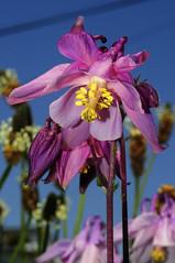 Grannies bonnet (pharriergraph) Tags: flower purple bonnet grannie yellowbits