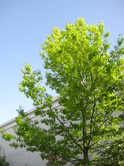 may 15: spring day in redmond town center (aiddy) Tags: sky tree town center redmond blus