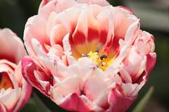 花(チューリップ)