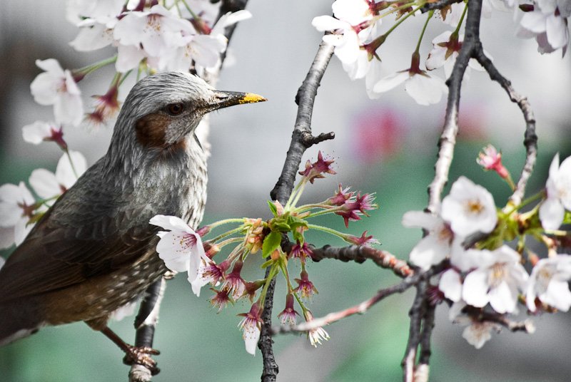 bird in sakura_8197