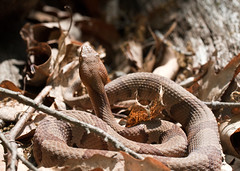 "C-Falls - copperhead in situ 2 • <a style=""font-size:0.8em;"" href=""http://www.flickr.com/photos/30765416@N06/5701534389/"" target=""_blank"">View on Flickr</a>"