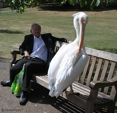 William & Friend: St. James's Park (curry15) Tags: london bench william pelican explore willy stjamesspark sw1 tms stjamess americanwhitepelican pelecanuserythrorhynchos tellmeastory