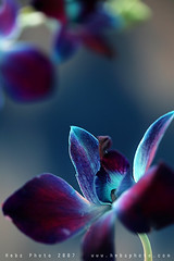 Blue Feeling (Heba AL-Jadaan (Heba _ photo)) Tags: flowers blue light orchid flower love ice home canon garden happy feel dreams kuwait fell q8 heba myheart iloveu for7ayati
