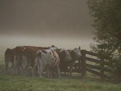 . (Harry Mijland) Tags: mist holland fog utrecht cows nederland polder koeien maarssen oudzuilen dearharry harrymijland