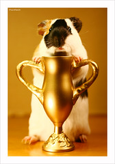 Winner (Pacifist) Tags: pet cute japan guinea pig guineapig cavies explore winner trophy nops yourfavorites supershot ef50mm118ii  eos400d conceptphotos superbmasterpiece lmaoanimalphotoaward exhibetusfotos etfanimal mormotto
