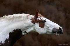 Paint_Draft (myhorse) Tags: horse photoshop