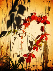 Question mark (AzRedHeadedBrat) Tags: sunset red plants lomoized nature grass leaves silhouette barn gold evening leaf midwest dusk heartland questionmark kansas prairie curlyq smithcenter sharleneshappart