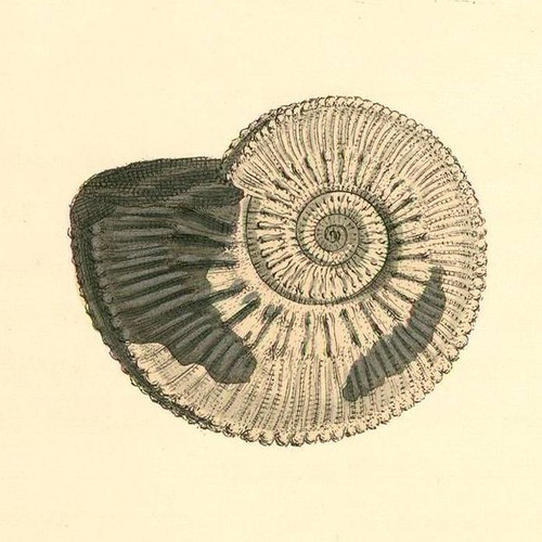 coloured engravings of shells