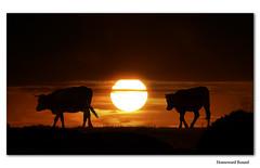 Homeward Bound (Ms Ladyred) Tags: sunset orange sun nature sunrise bravo quiet peace cows searchthebest bulls dreams homewardbound magicdonkey aplusphoto