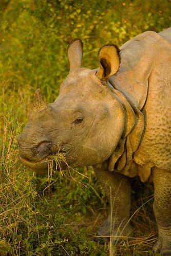 Rhino-saurus
